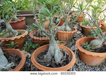 Impala Lily Adenium Tree