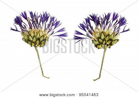 Pressed And Dried Flower  Cornflower. Isolated On White Background.