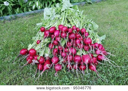 Many Fresh Red Radishes With Leaves
