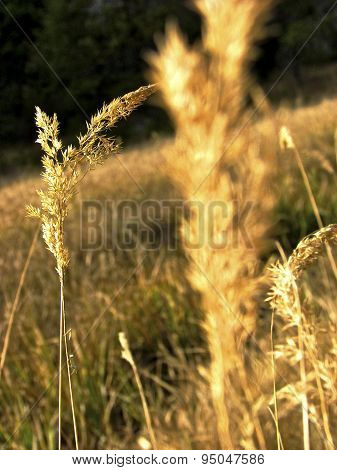 Yellow prairie grasses