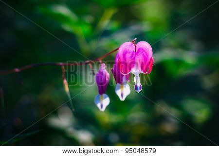 Dicentra or Bleeding Heart. Close up