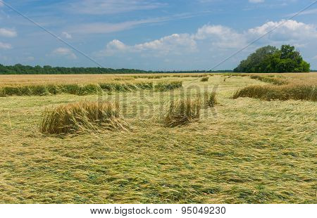 Landscape with wheat field that was under strong wind attack in central Ukraine