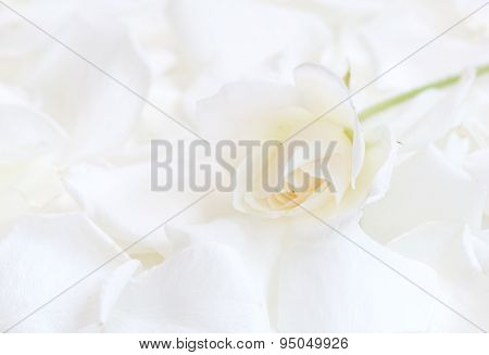 White rose on white rose petals