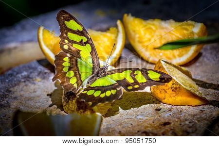 Malachite Butterfly Feeding On Fruits