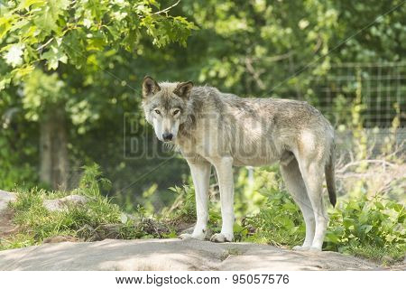 A lone timber wolf in the summer season
