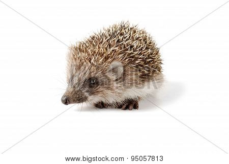 Cute baby hedgehog isolated in front of white background.