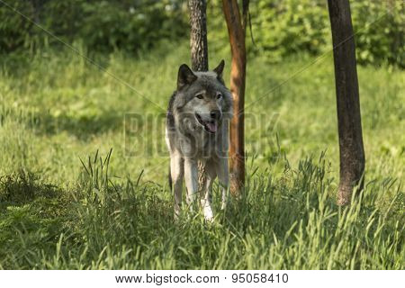 A lone Timber wolf in summer