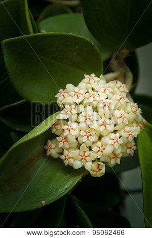 Hoya Flowers.