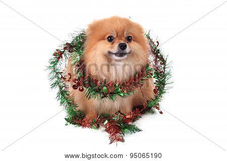 Pomeranian Dog Dressed Christmas Decoration