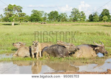 Buffaloes Are Immersed In Water.