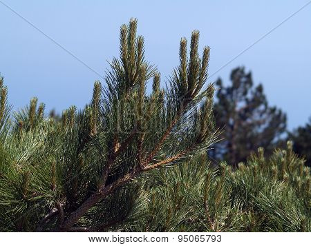Needles Of A Pine (aj-petri, Crimea)
