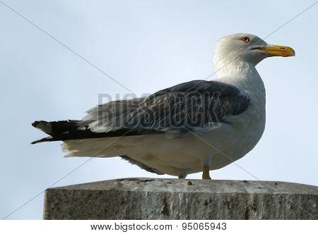 Silvery Seagull - Larus Argentatus