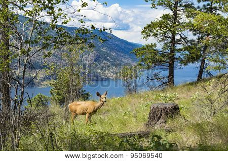 Mule Deer - Okanagan Lake