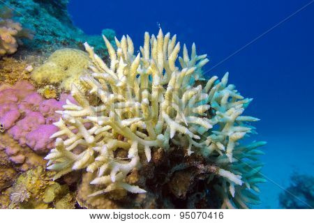 Birdsnest Coral At The Bottom Of Tropical Sea, Underwater