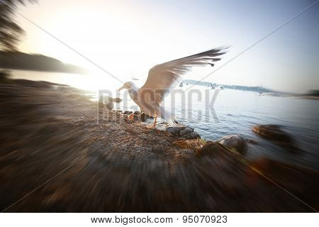Seagull Spreading Wings At Sunset