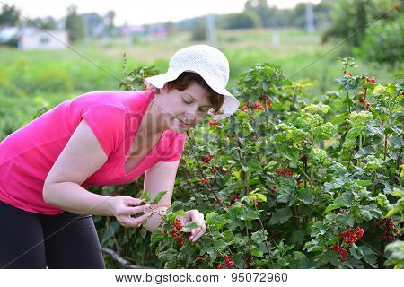 Woman Reaps A Crop Of Red Currant In  Garden