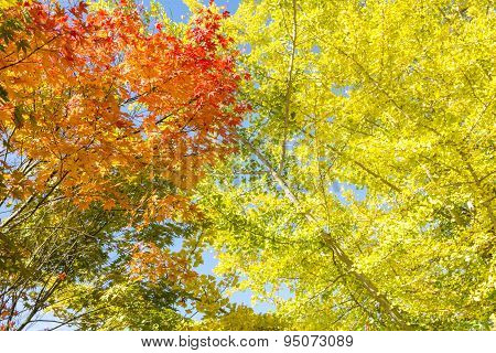 Maple and ginkgo leaves