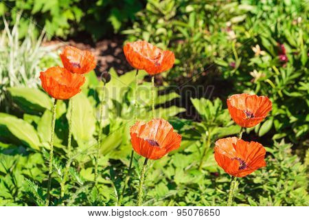 Close Up Of Red Poppies