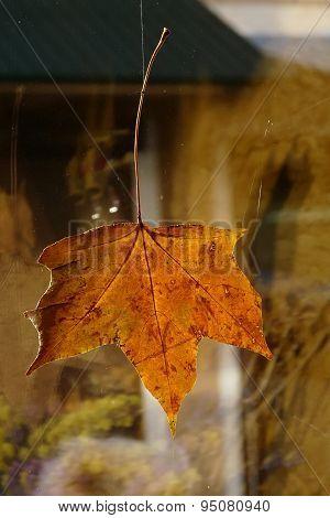 Yellowed Maple Leaf