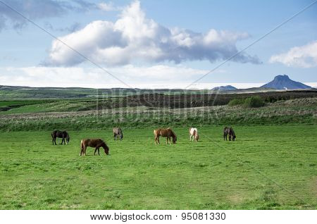 Icelandic Horse On The Pasture