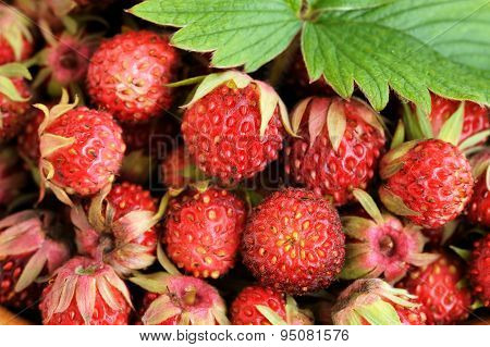 Wild Strawberries Fragaria Viridis With Green Leaf