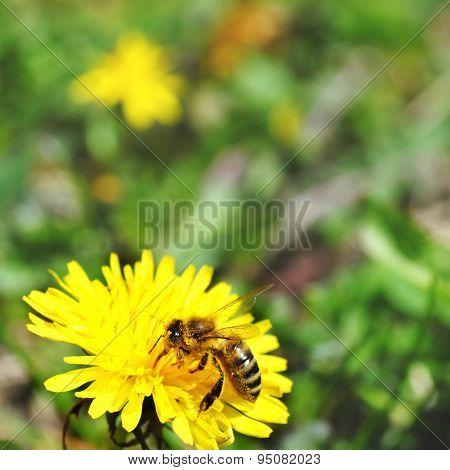 One Bee On Dandelion