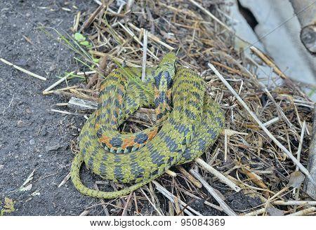 Snake (rhabdophis Tigrina)