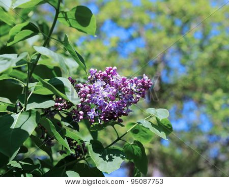Blossoming Lilac In The City Park