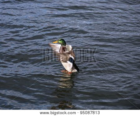 The Duck Swims On The Waves