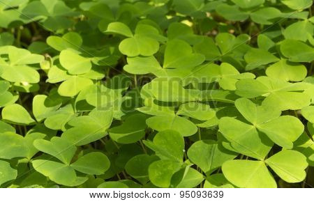 Wood Sorrel growing in the forest, macro, copy space