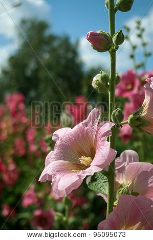 Pink Holly Hock (Malva)