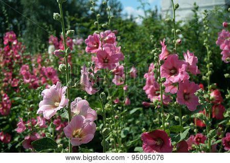 Pink Holly Hock (Malva)