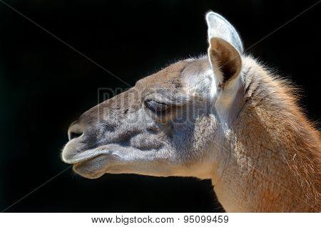 Portrait Of A Guanaco