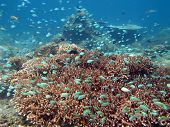 picture of shoal fish  - Thriving coral reef alive with marine life and shoals of fish Bali - JPG