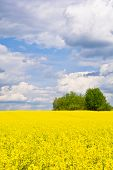 pic of rape-field  - Landscape with rape field during flowering in early spring. Early spring in a sunny nice day in the countryside - JPG