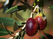 stock photo of olive branch  - mature olives in a tree branch - JPG