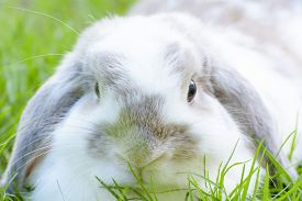 stock photo of bunny rabbit  - Rabbits are small mammals. Bunny is a colloquial name for a rabbit. ** Note: Soft Focus at 100%, best at smaller sizes - JPG