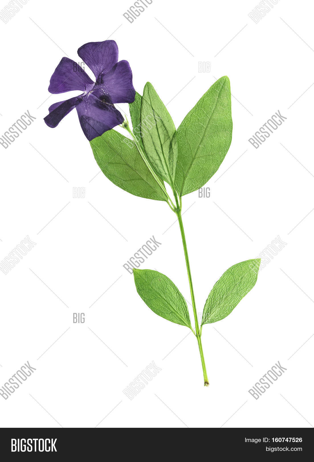How to scrapbook dried flowers - Pressed And Dried Flowers Periwinkle Vinca Minor On Stem With Green Leaves Isolated