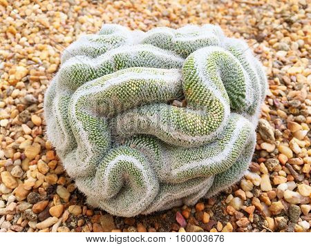 Cactus A popular ornamental plant The many shapes