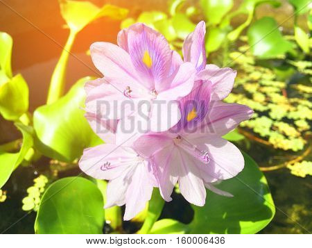 Purple flowers of the water hyacinth in river