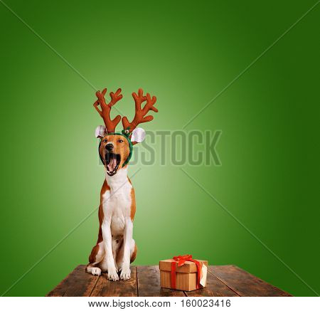 Adorable basenji puppy dressed in Christmas reindeer antlers sings with mouth wide open sitting next to a present in a box isolated on green