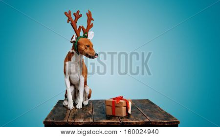 Cute brown and white puppy dressed in deer antlers licks its nose looking at a Christmas present on blue background