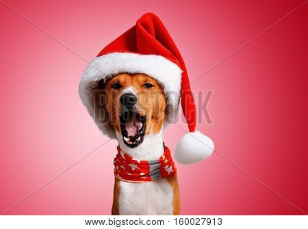 Close up portrait of funny beautiful basenji dog wearing christmas santa hat and singing holiday song on camera, isolated on traditional red background