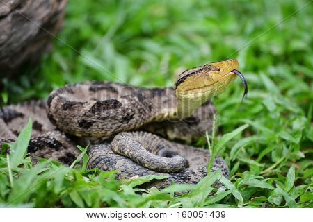 Ferdelance Pit Viper sensing its surroundings with his tongue in the Rain Forest of Panama