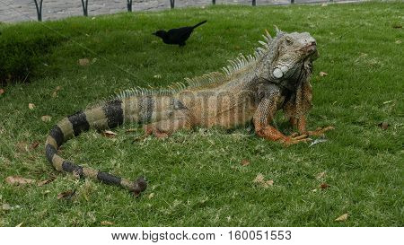 Huge old Iguana resting at a Park in Guayaquil Ecuador