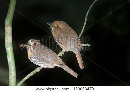 Couple of White-whiskered Puff Birds male and Female perched on a tree branch