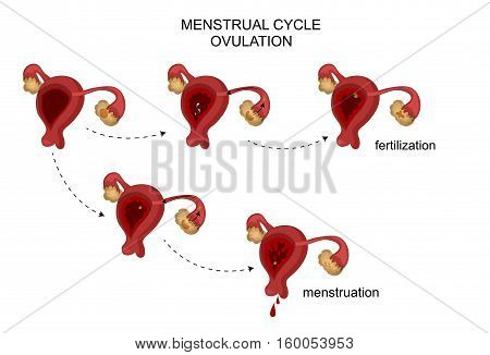 vector illustration of female reproductive organs. Menstrual cycle.