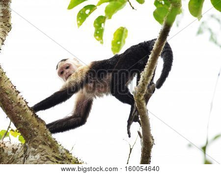 Capuchin Monkey moving on top of a huge tree in the rain forest of Panama