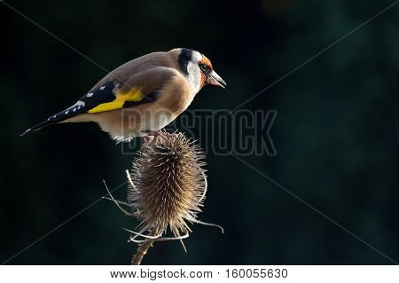Goldfinch (Carduelis Carduelis) perched on a Teasle