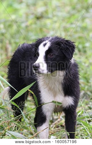 Border Collie young dog watching the herd under a rainy day